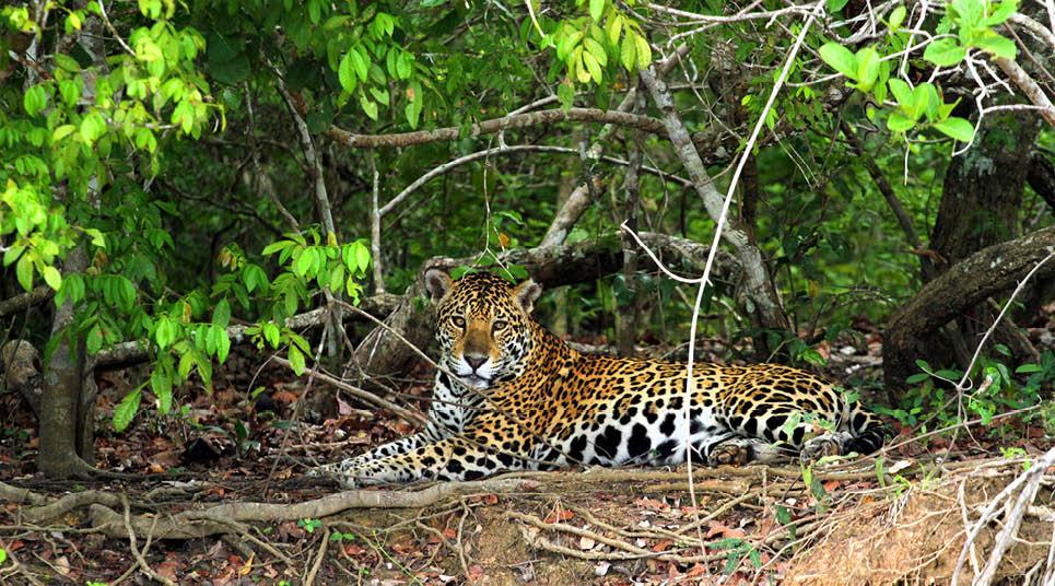 Onça no Pantanal