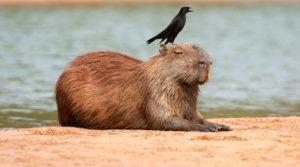 Capivara com iraúna-grande
