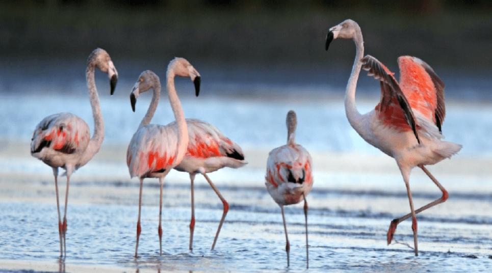 O Parque Nacional da Lagoa do Peixe, no RS, é um santuário para flamingos (foto: divulgação)