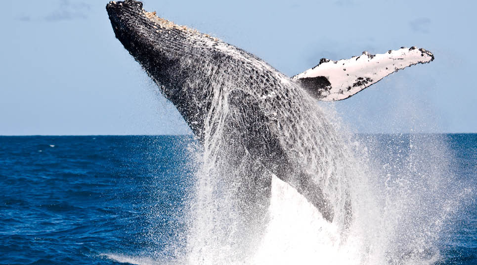 Baleia jubarte (foto: shutterstock)