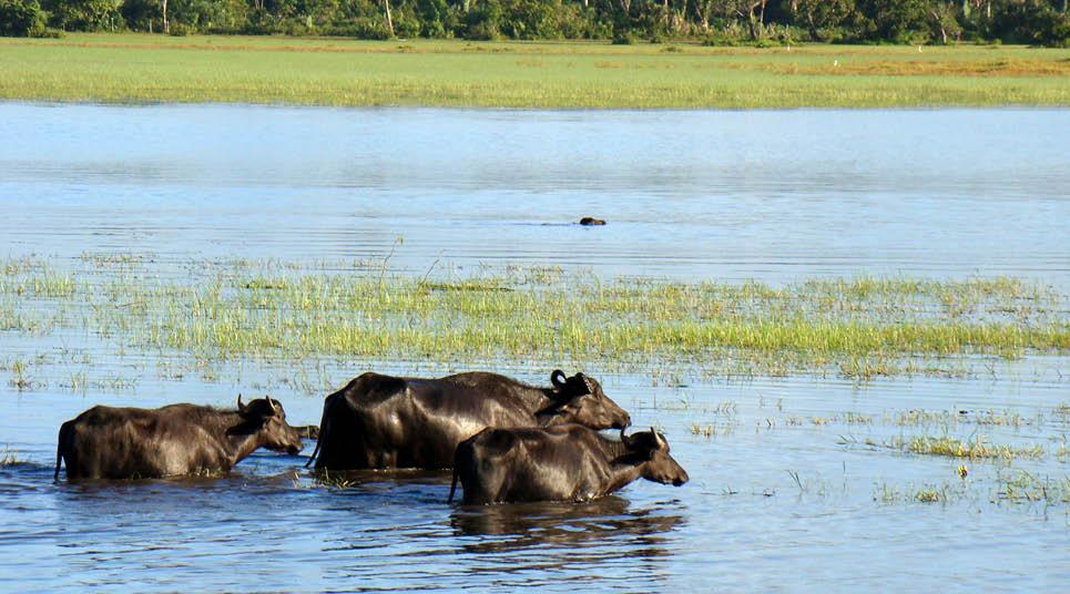 Búfalos são vistos com frequência na Ilha de Marajó