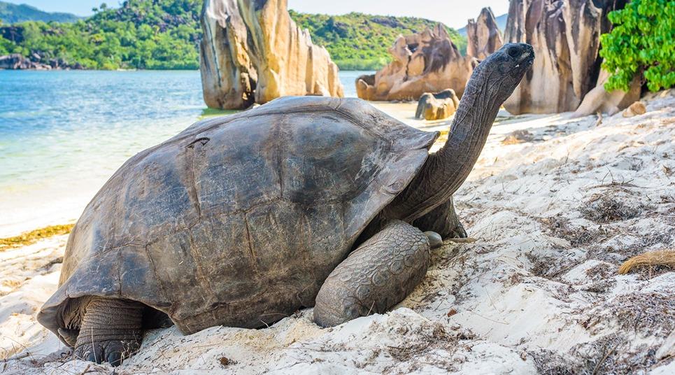 Tartaruga gigante no Atol de Aldabra