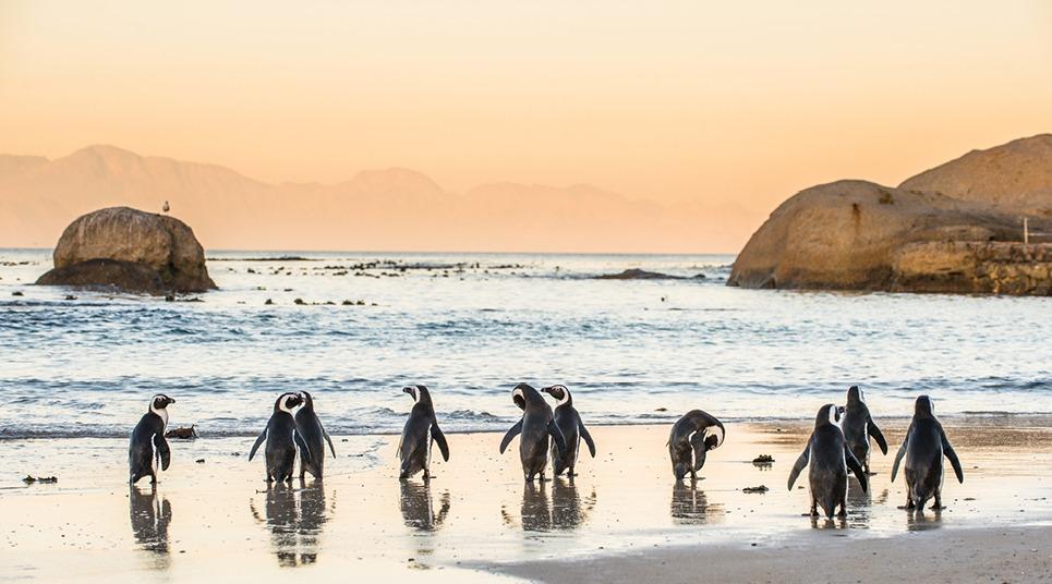 Pinguins em Boulders Beach