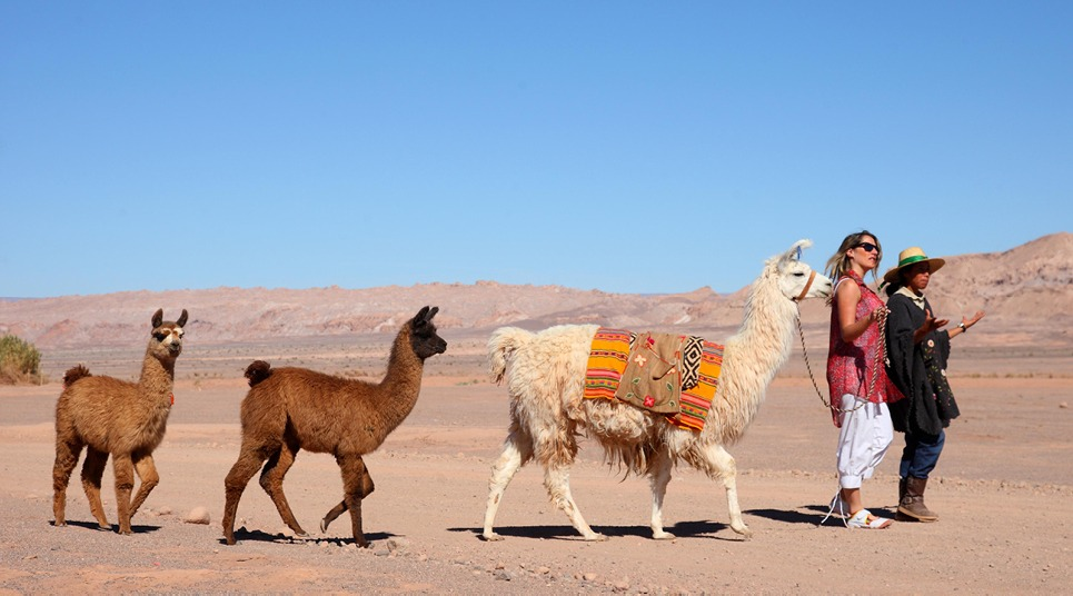 Lhamas no Deserto do Atacama
