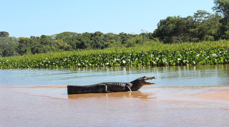 Jacaré avistado no Pantanal