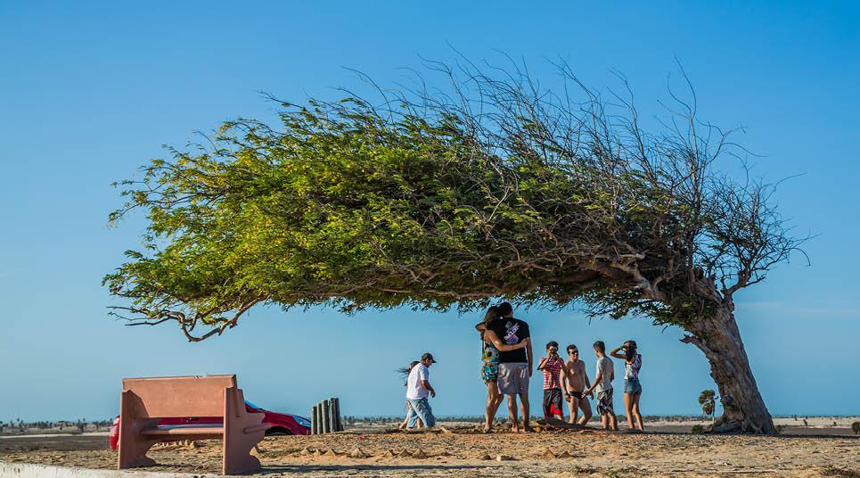 Árvore Penteada