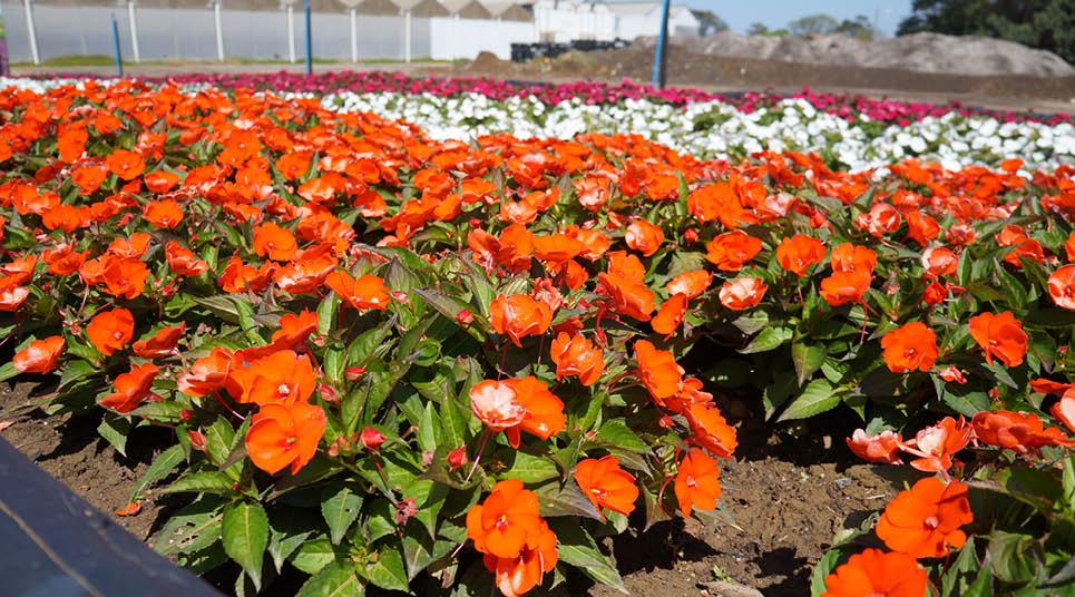 Campos de flores em Holambra