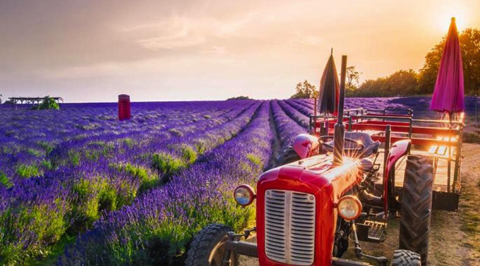 O Mayfield Lavender encanta com seus tons de roxo (foto: Shutterstock)