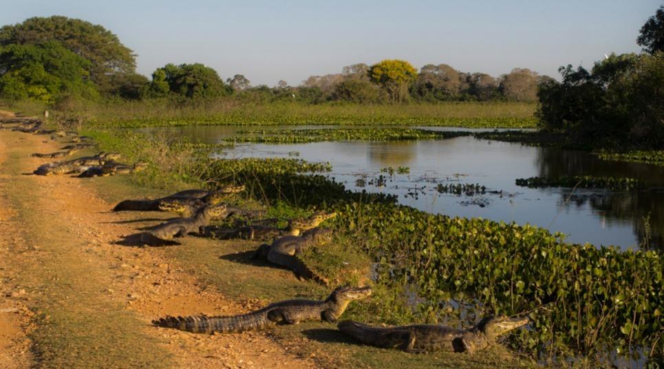 O Pantanal é o destino para quem quer visitar um safári no Brasil (foto: shutterstock)