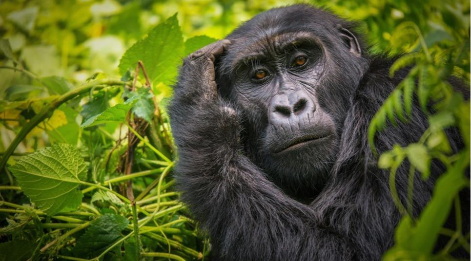 Os safáris da Uganda possuem gorilas entre seus animais (foto: shutterstock)
